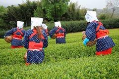 Японская женщина жать листья чая Стоковое Фото