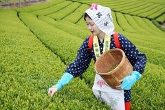 Японская женщина жать листья чая Стоковая Фотография