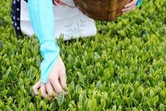 Японская женщина жать листья чая Стоковые Изображения