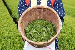 Японская женщина жать листья чая Стоковые Фото