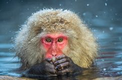 Японская макака на горячих источниках Jigokudani Японская макака, научное имя: Fuscata Macaca, также известное как обезьяна снега стоковые фотографии rf