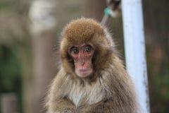 Японская макака на парке обезьяны Takasaki, Beppu, Oita, Японии Стоковые Фотографии RF