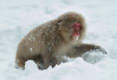 Японская макака на снеге Японская макака (научное имя: Fuscata Macaca), также известное как обезьяна снега естественно стоковое фото rf