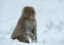 Японская макака на снеге Японская макака (научное имя: Fuscata Macaca), также известное как обезьяна снега естественно стоковая фотография rf