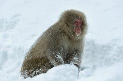 Японская макака на снеге Японская макака (научное имя: Fuscata Macaca), также известное как обезьяна снега естественно стоковые изображения rf