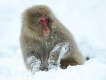 Японская макака на снеге Японская макака (научное имя: Fuscata Macaca), также известное как обезьяна снега естественно стоковая фотография