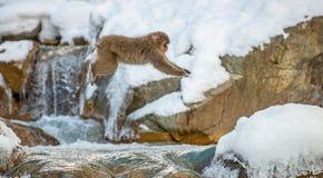 Японская макака, также известная как обезьяна снега Естественная среда обитания, стоковое фото