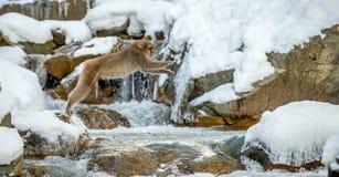 Японская макака, также известная как обезьяна снега Естественная среда обитания, стоковые изображения rf