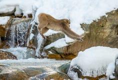 Японская макака, также известная как обезьяна снега Естественная среда обитания, стоковое изображение