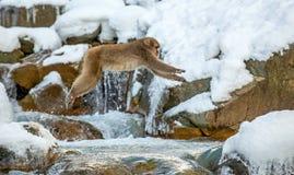 Японская макака, также известная как обезьяна снега Естественная среда обитания, стоковое изображение rf