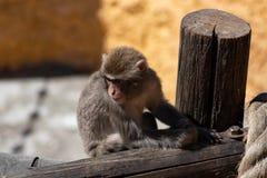 Японская обезьяна на зоопарке грустном задумчивый что-то прокладывая курс стоковое фото
