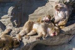 Японская обезьяна снега принимая sunbath Стоковые Изображения