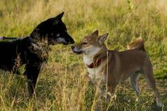 Японская порода собак Sibu Inu для прогулки Стоковое Изображение RF