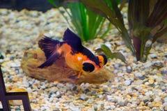 Японская рыбка с глазой навыкате Стоковое фото RF