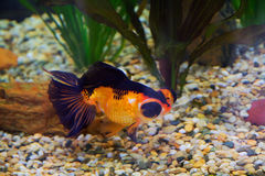 Японская рыбка с глазой навыкате Стоковая Фотография RF