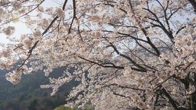Японская Сакура в ветре сток-видео