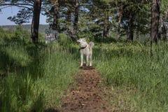 Японская собака Акита Inu на пути с конусами в лесе в ясном дне среди деревьев Стоковые Фотографии RF