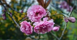 Японские вишневые цвета, весенний сезон Стоковые Фото