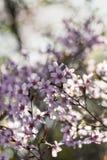 Японские вишневый цвет & x28; Tree& x29 Сакуры; весенний сезон или сезон hanabi в Японии, на открытом воздухе предпосылке пастель стоковая фотография
