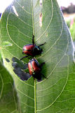 Японские жуки на лист Стоковая Фотография