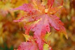Японские кленовые листы Стоковые Изображения