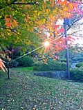 Японские красные лист стоковое фото