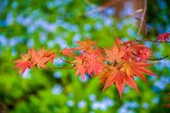 Японские кленовые листы на зеленой предпосылке Стоковые Фотографии RF