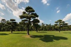 Японские сосны Стоковая Фотография