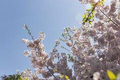 Японские цветения вишневого дерева с пирофакелом объектива Стоковые Изображения