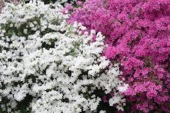 Японские цветки азалии стоковое изображение rf