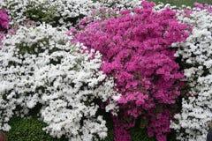 Японские цветки азалии стоковая фотография rf