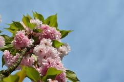 Японские цветки вишни Стоковые Фотографии RF