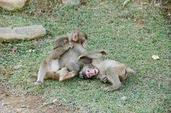 японские macaques играя 3 детенышей Стоковое Изображение RF