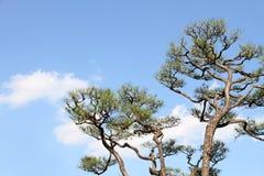 японский вал сосенки Стоковые Фотографии RF