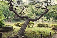 японский вал сосенки Стоковые Изображения