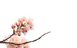 Японский вишневый цвет изолированный на белизне Стоковое фото RF