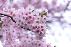 Японский вишневый цвет & x28; Tree& x29 Сакуры; se весеннего сезона или hanabi Стоковая Фотография RF