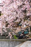 Японский вишневый цвет & x28; Tree& x29 Сакуры; se весеннего сезона или hanabi Стоковое фото RF