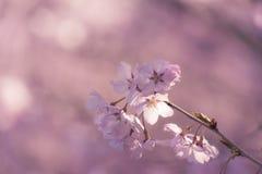 Японский вишневый цвет & x28; Tree& x29 Сакуры; se весеннего сезона или hanabi Стоковые Фотографии RF