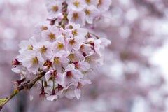 Японский вишневый цвет & x28; Tree& x29 Сакуры; se весеннего сезона или hanabi Стоковое Изображение RF