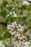 Японский вишневый цвет & x28; Tree& x29 Сакуры; se весеннего сезона или hanabi Стоковые Изображения RF