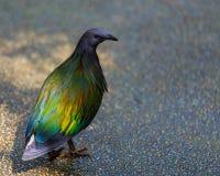 Японский голубь Стоковое Изображение RF
