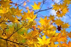 Японский желтый кленовый лист Стоковая Фотография