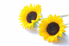 Японский желтый солнцецвет Стоковая Фотография RF