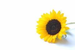 Японский желтый солнцецвет Стоковые Изображения