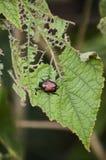 Японский жук и свое повреждение Стоковые Изображения