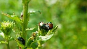 Японский жук общий вид жука Стоковая Фотография
