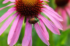 Японский жук (japonica Popillia) Стоковое Изображение RF