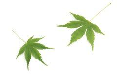 Японский зеленый кленовый лист на белизне Стоковое Изображение RF