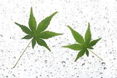 Японский зеленый кленовый лист на дожде Стоковые Фотографии RF